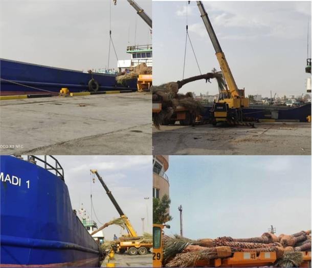 محموله صادراتی درخت نخل از بندر گناوه به کشور کویت ارسال شد